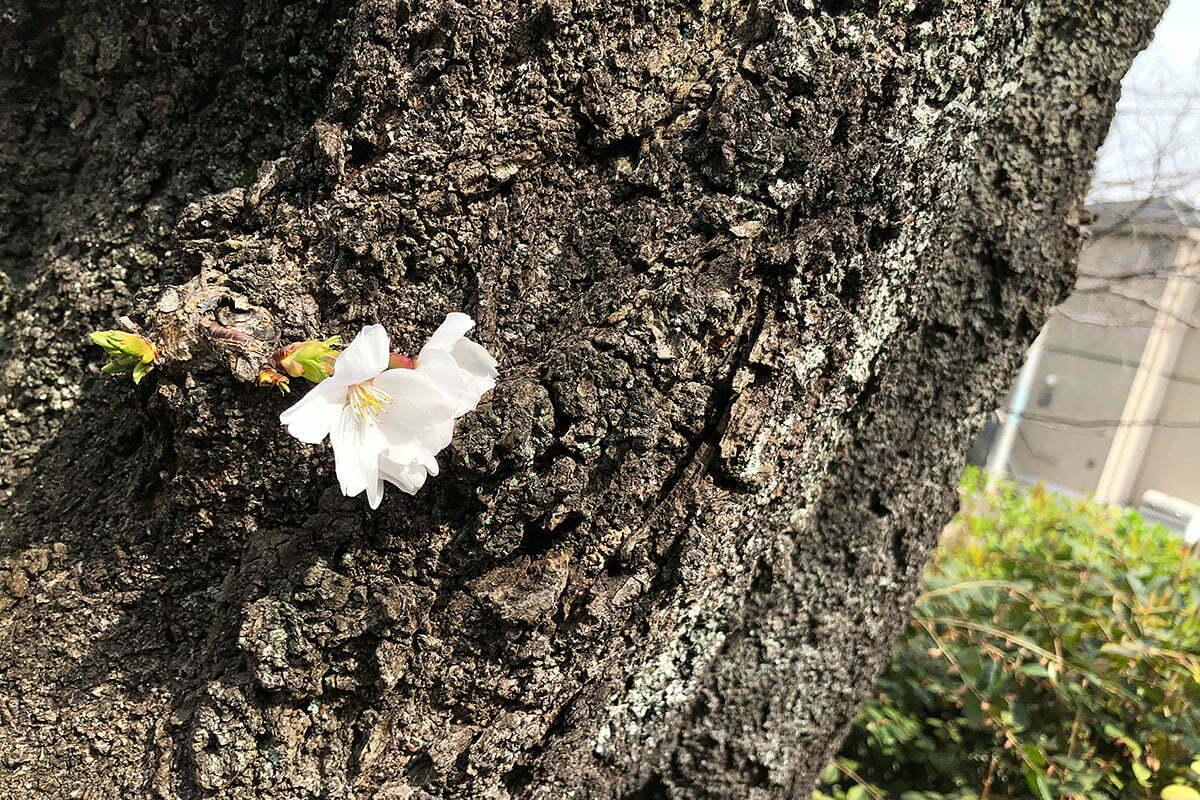 北沢川緑道の桜は開花したのにね